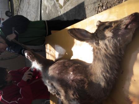 森のたね 鹿の解体教室 猟師ツアー