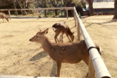 奈良公園の鹿ズ