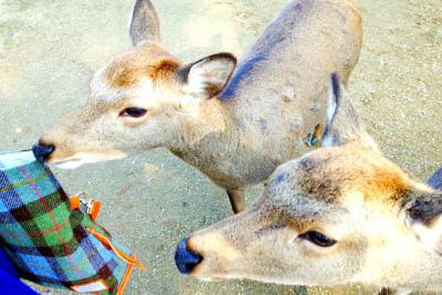 奈良公園の鹿2