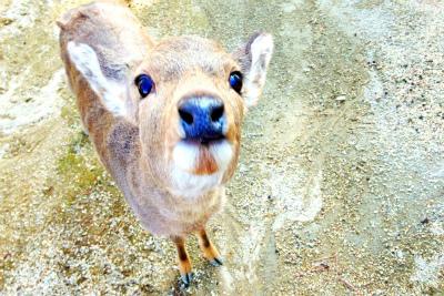 奈良公園の鹿3