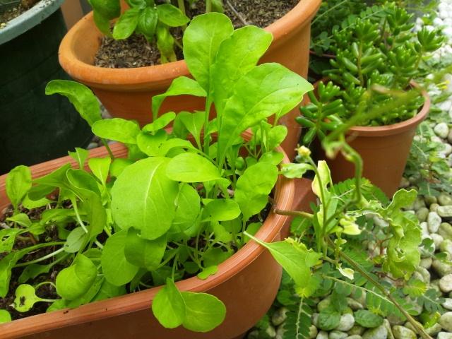 2012 8 18 salad leaf