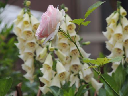 N0002薔薇とジキタリス