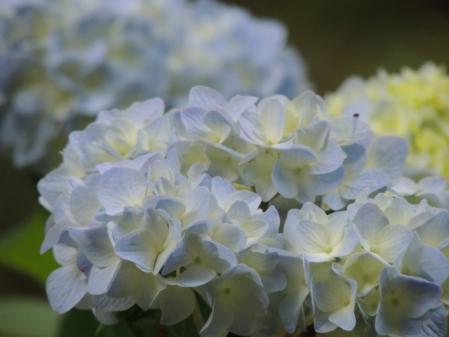 N0378紫陽花