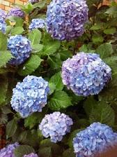 2012紫陽花
