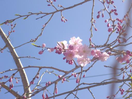 うちの枝垂桜