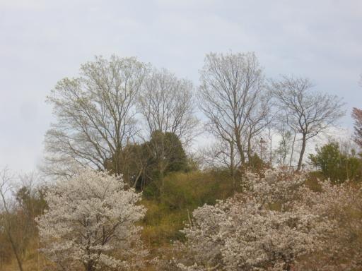 市民テニス場の桜