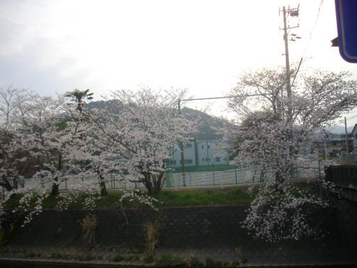 小学校の桜1