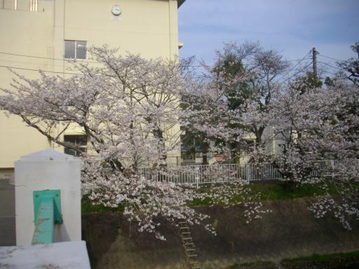 小学校の桜3