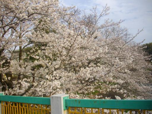 小学校の桜4