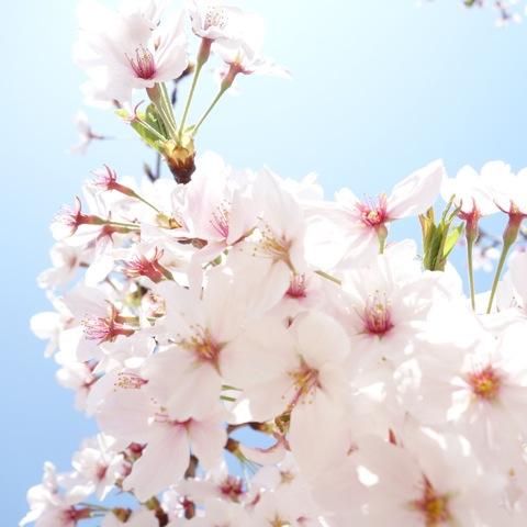 2013桜7