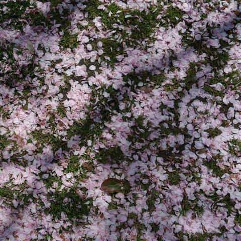 2013桜11