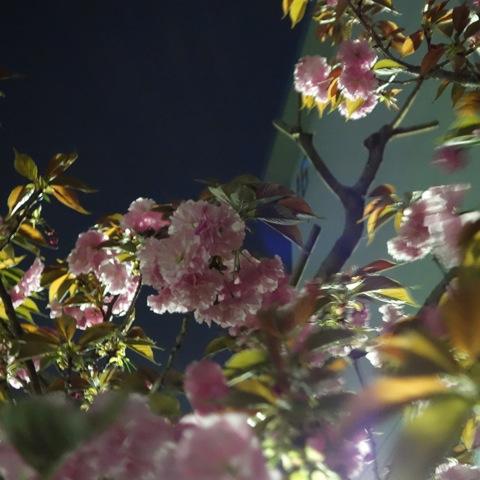 2013桜15