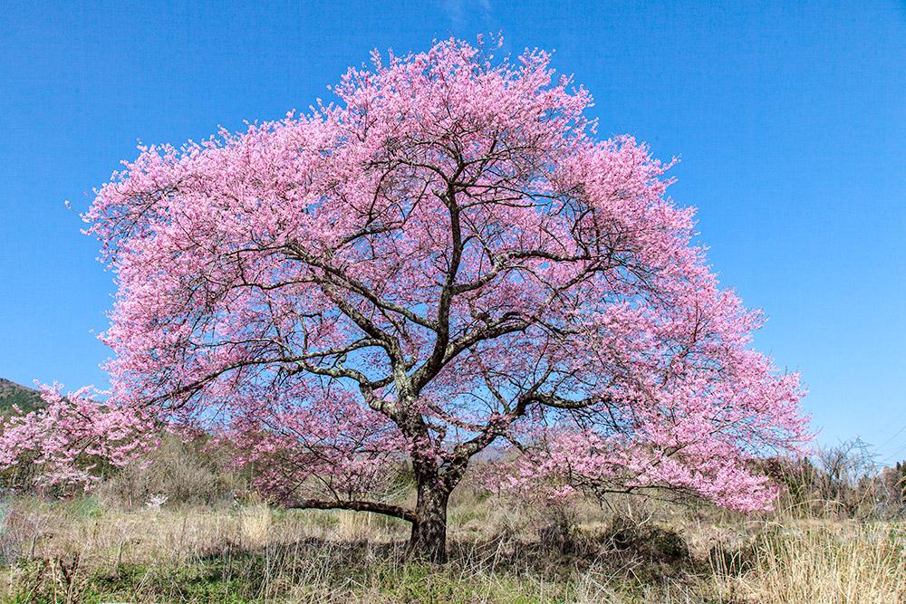 120429桜
