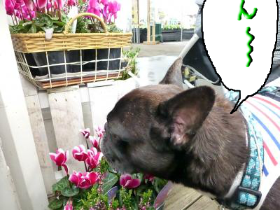 snap_myfrenchbulldog_201210321020.jpg