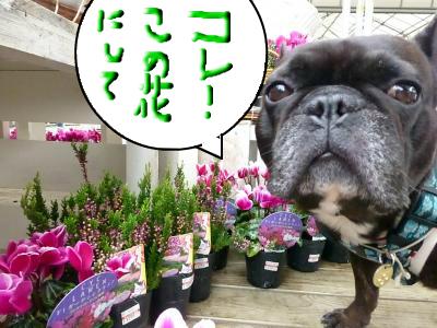 snap_myfrenchbulldog_201210321247.jpg