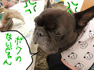 snap_myfrenchbulldog_2012113203111.jpg