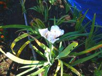tntnH22-11-01狂い咲きのジャーマンアイリス (5)