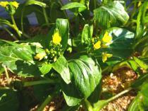tntnH23-01-22アスパラ菜 (7)