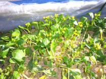 tntnH23-01-22アスパラ菜 (2)