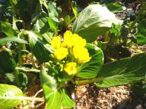 tntnH23-01-22アスパラ菜 (3)