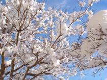 tntnH23-02-15ハナミズキの雪