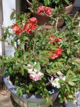 tntnH23-04-16木瓜の花 (3)