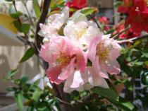 tntnH23-04-16木瓜の花 (4)