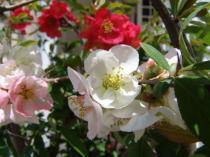 tntnH23-04-16木瓜の花 (7)