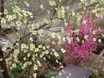 tntnH23-04-19ハナミズキと花桃