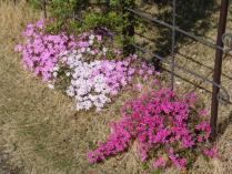 tntnH23-04-20芝桜 (4)