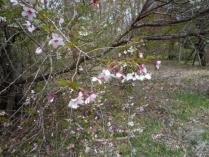 tntnH23-05-05富士桜 (1)