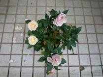 tntnH23-05-12いただいたバラ (4)