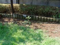 tntnH23-08-09庭のサンショウの木 (1)