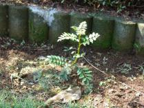 tntnH23-08-09庭のサンショウの木 (2)