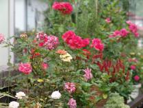 tntnH23-08-24花台の草花 (3)