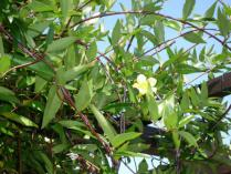 tntnH23-10-02カロライナジャスミンの花 (3)