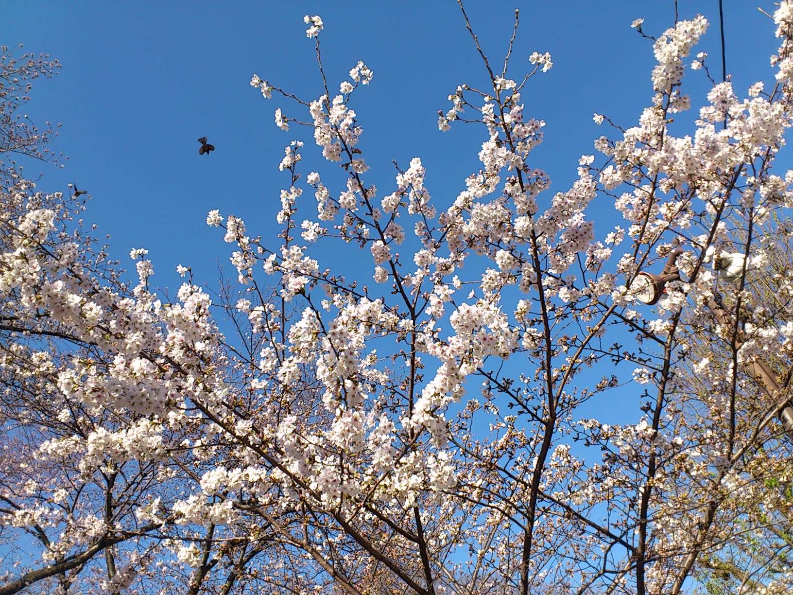桜_130321