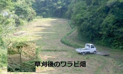 草刈り後のワラビ畑