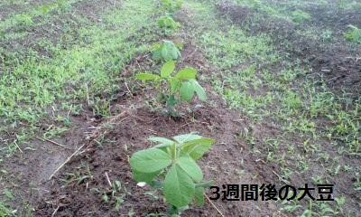 すくすく育つ大豆