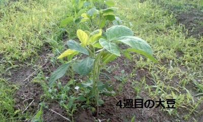 4週目の大豆