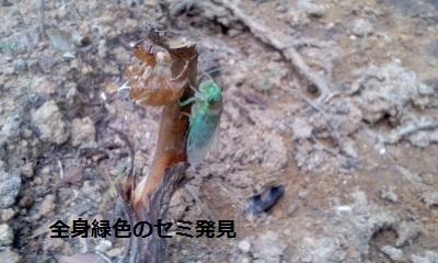 緑色のセミ