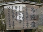 日吉・東本宮-竈殿社と多羅葉06