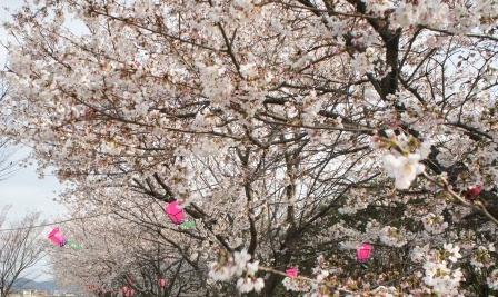 桜満開 2013