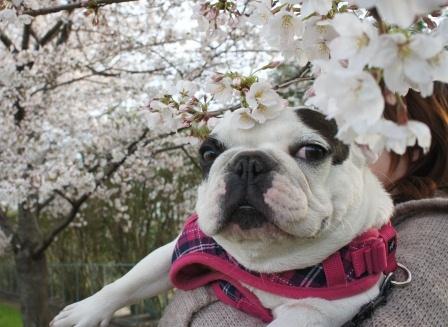 ななと桜と、時々おかん