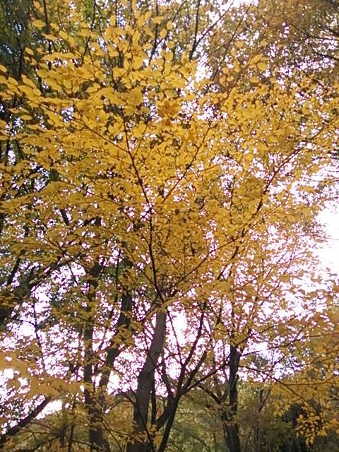 秋六甲黄葉