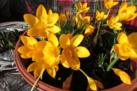 crocusyellow0214