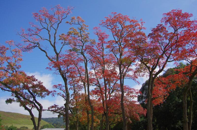 奈良公園 ナンキンハゼ 春日野1