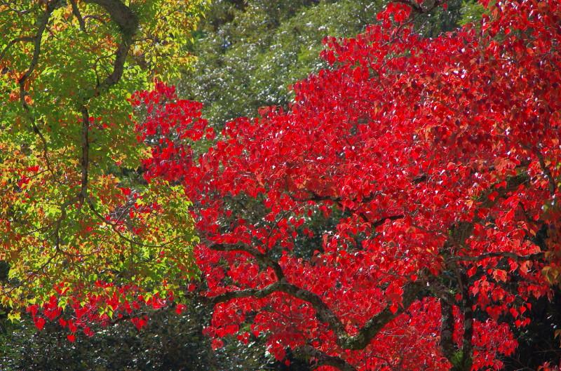奈良公園 ナンキンハゼ 春日野