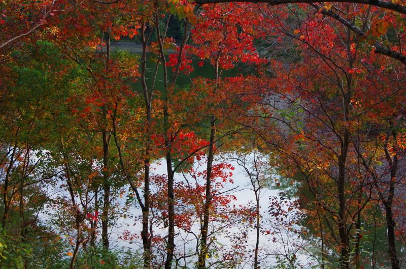 奈良公園 鷺池 ナンキンハゼ1