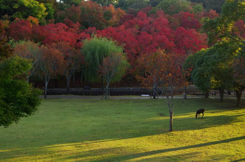 奈良公園 鷺池 ナンキンハゼと鹿
